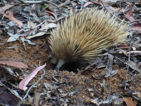 Exceptional Kangaroo Island : Echidna