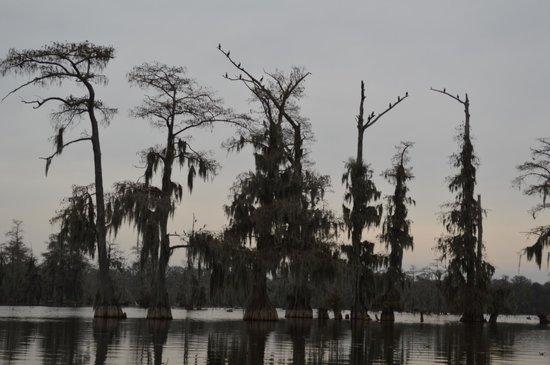 Champagne's Cajun Swamp Tours: Cormorants