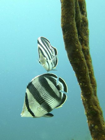 H2O Visions Bonaire : Banded Butterfly Fish pic taken on photo tour with Brenda