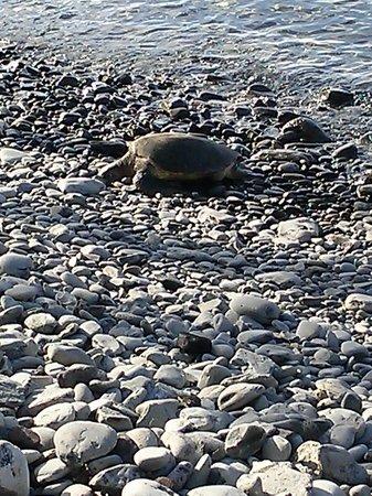 Honokeana Cove Condominiums : Turtle sunbathing on Honokeana Cove's rock beach