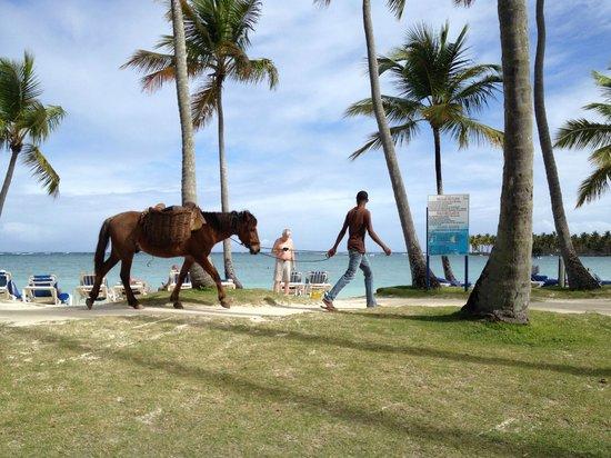 Grand Paradise Samana : horses wandering the beach