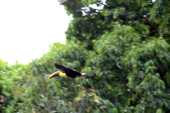 Punta Gabriela: Tucan Flying by