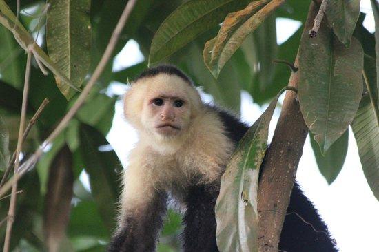 Punta Gabriela : Monkey
