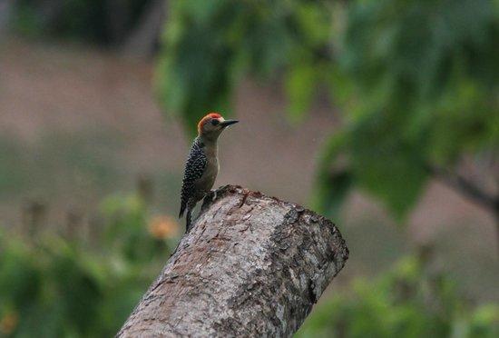 Punta Gabriela : Wood Pecker
