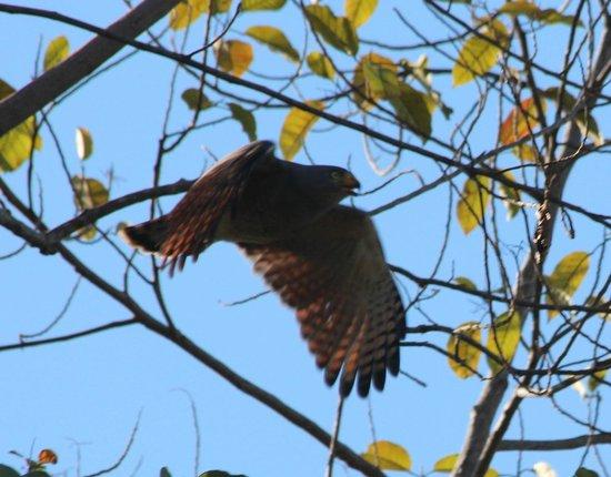 Punta Gabriela: Hawk