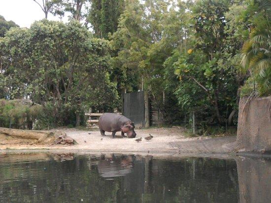 Auckland Zoo : Hippo