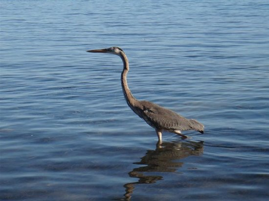 Corona del Mar Hotel & Apartments: Heron wading in the front of the hotel