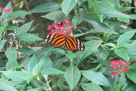 Butterfly Conservatory: A Tigerstriped Longwing