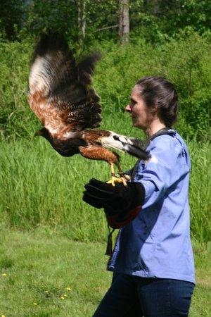 The Raptors: On a hawk walk with Paco, a Harris Hawk