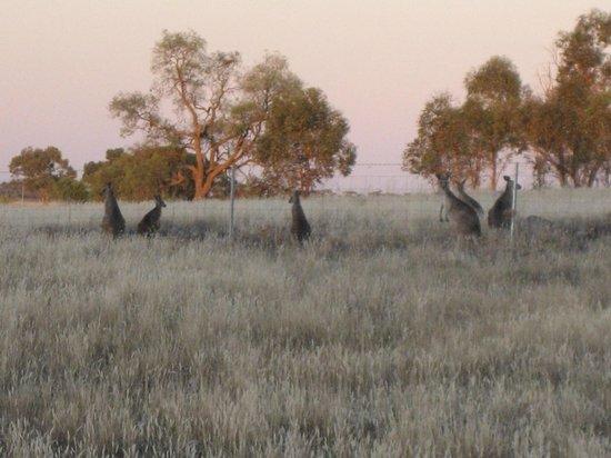 Ingleden Park: Kangaroos on the hill