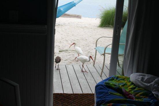 Ibis Bay Beach Resort : Il ne faut pas avoir peur des oiseaux!