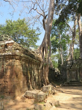 Angkor Thom : One of the trees growing in the walls