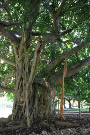Radisson Grenada Beach Resort : A large tropical tree on the grounds.