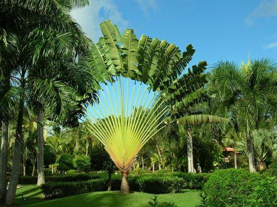 Paradisus Punta Cana Resort: Fächerpalme
