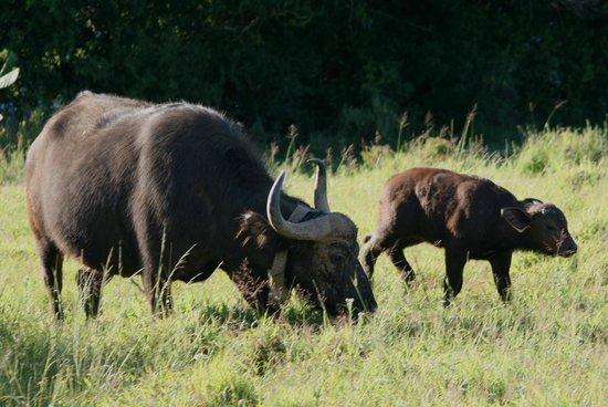 Kariega Game Reserve - All Lodges: Buffalo