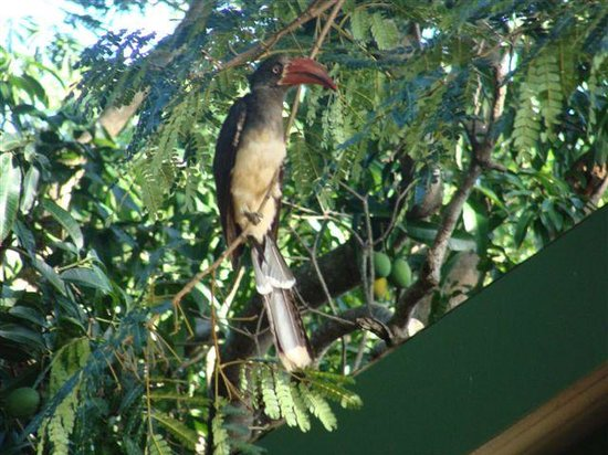 Sand Forest Lodge: Crowned hornbill next to Chalet