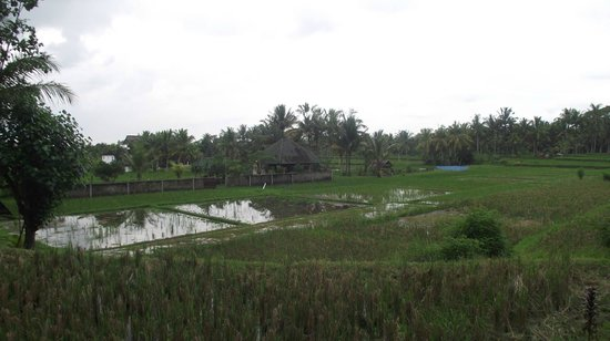 The Samara: Rice Fields