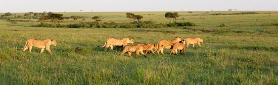 Mara Bush Houses, Asilia Africa: Lion pride, Mara North