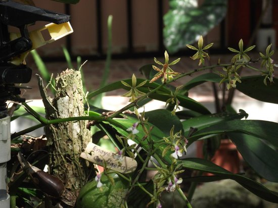 Aprovaca (The Orchid Nursery & Conservation Center): One of the orchids that was blooming and on display