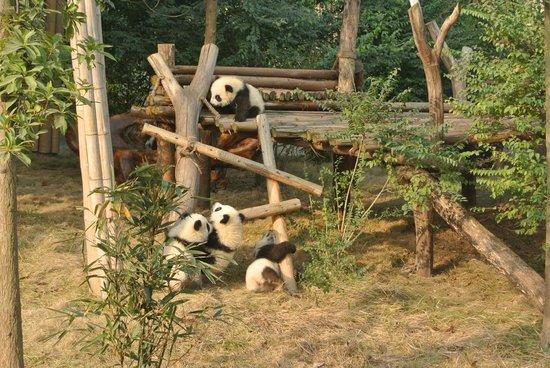 Giant Panda Breeding Research Base (Xiongmao Jidi): パンダの遊び