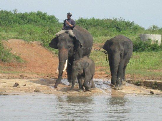 Lampung, Endonezya: Sedang mau mandi para gajah ini