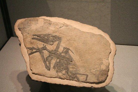 "Museo di Scienze Naturali ""E. Caffi"": eudimorphodon"