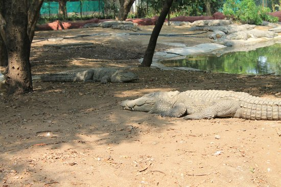 Crocodiles Picture Of Nehru Zoological Park Hyderabad Tripadvisor