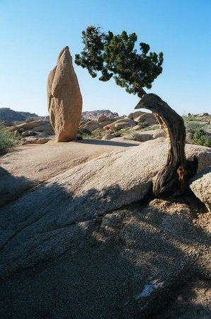 Jumbo Rocks Campground: Juniper Tree