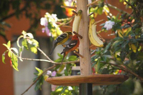 Savegre Hotel, Natural Reserve & Spa: レストラン前の餌台には至近距離で野鳥が集まります。