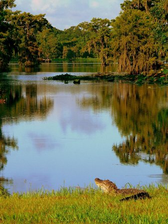 Lake Martin : Cajun alligator in the summer