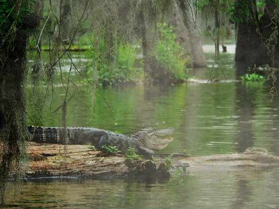 Lake Martin : Cajun alligator in the swampland