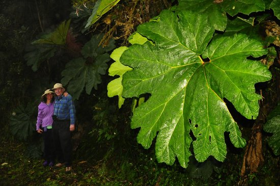 San Jorge Eco-Lodge & Botanical Reserve: photo taken by Dr. Cruz of my brother & I by  ENORMOUS  Gunnera leaves in the Cloud Forests