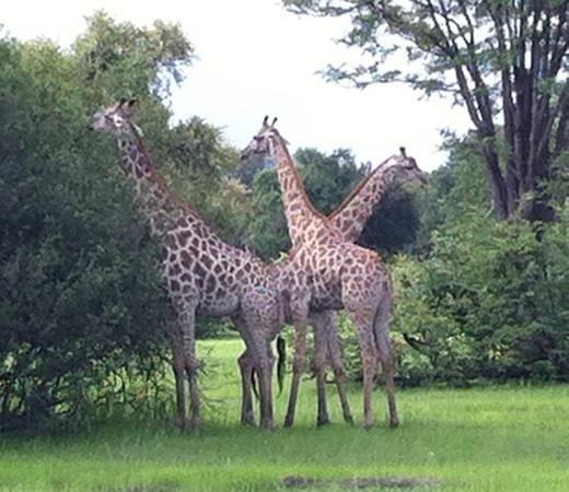Wilderness Safaris DumaTau Camp: beautiful giraffes