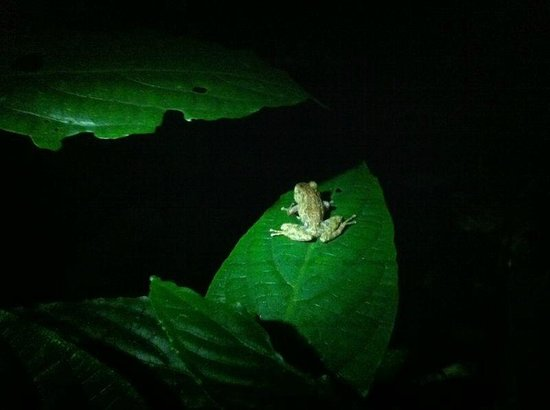 Monteverde Night Walk Costa Rica : Ranita de Monteverde (peligro)