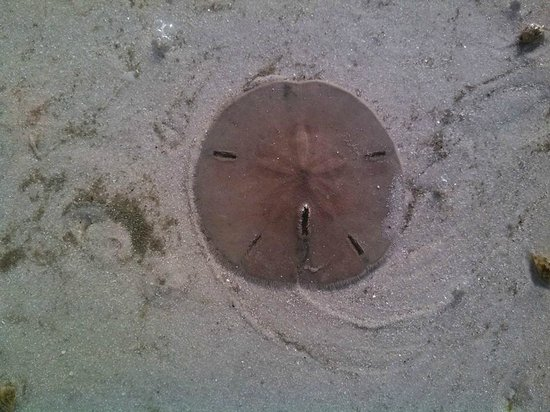 Fort Myers Beach : A live sand dollar in a tide pool
