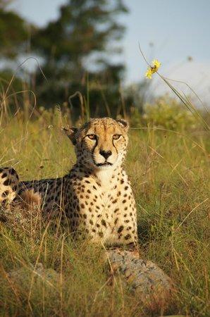 Kichaka Luxury Game Lodge: Cheetah