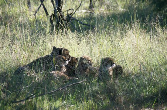 Kichaka Luxury Game Lodge: Cheetah and her cubs