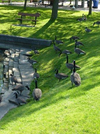 Parc des Îles de Toronto : Wildgänse