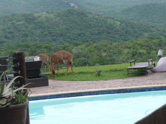 Zulu Nyala Game Lodge : Nyala at the pool