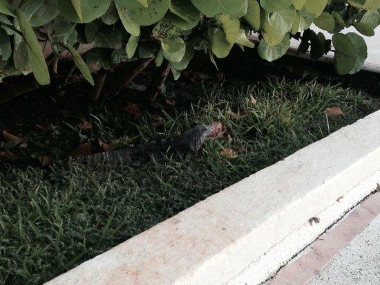 Hotel Casa Turquesa: Iguana Buddy