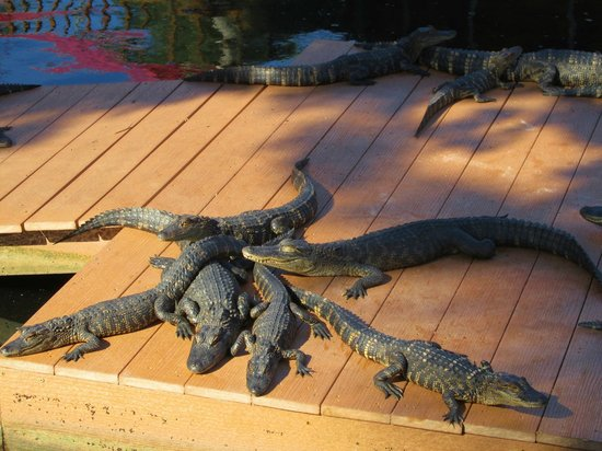 Smugglers Cove Adventure Golf : Cute Alligators you can Feed