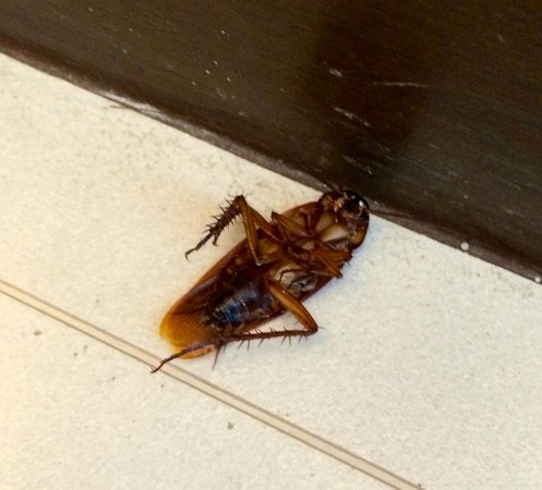 The Westin Siray Bay Resort & Spa Phuket: We woke up to the buzzing of this giant roach in the middle of the night