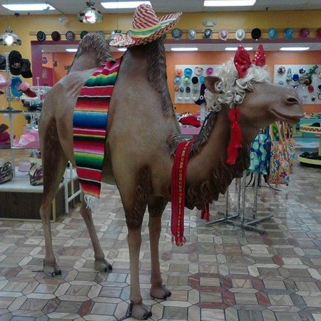 South of the Border: Camel