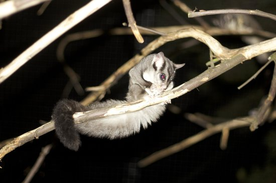 Moonlit Sanctuary Wildlife Conservation Park: Squirrel glider, up close and personal