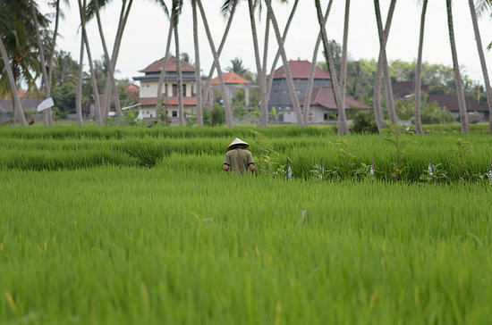 Bhuwana Ubud Hotel: Organic rice field
