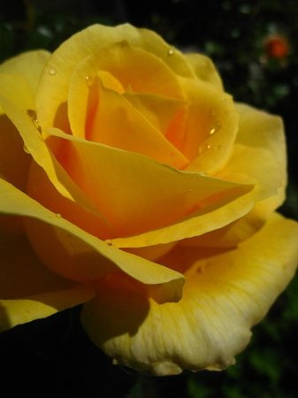 Kaimai Country Lodge: Gold and Glory rose in the Lodge garden
