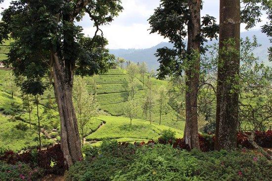 The Farm Resorts : Surrounding Tea Plantations