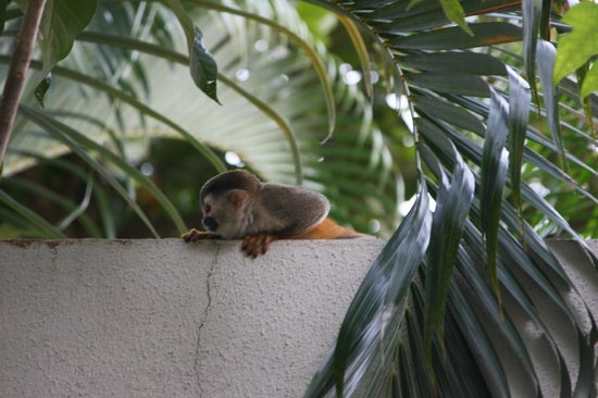 Go Tours Costa Rica - Day Tours: squirrel monkey