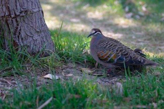 Bathers Paradise Caravan Park: Pigeon & youngester next to site