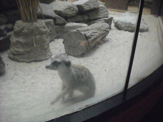 National Zoological Park: Meerkat!